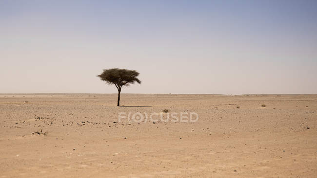 Single tree in arid Sahara desert, Erg Chigaga, Morocco — Stock Photo