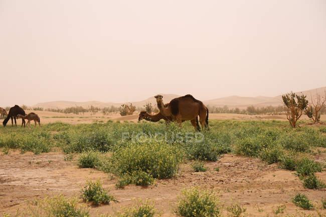 Les chameaux sauvages broutant dans le Sahara désert arbustes, Erg Chegaga, Maroc — Photo de stock