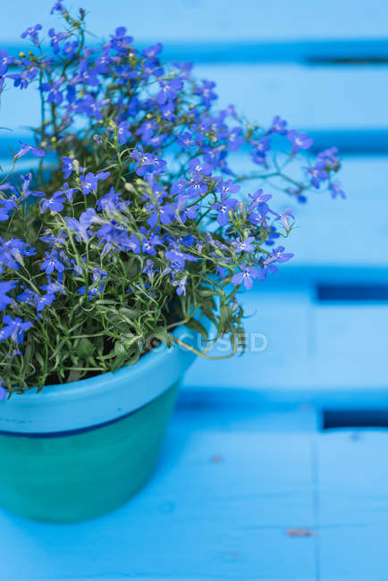 Close-up of blue potted flowers on garden pallet table outdoors — Stock Photo