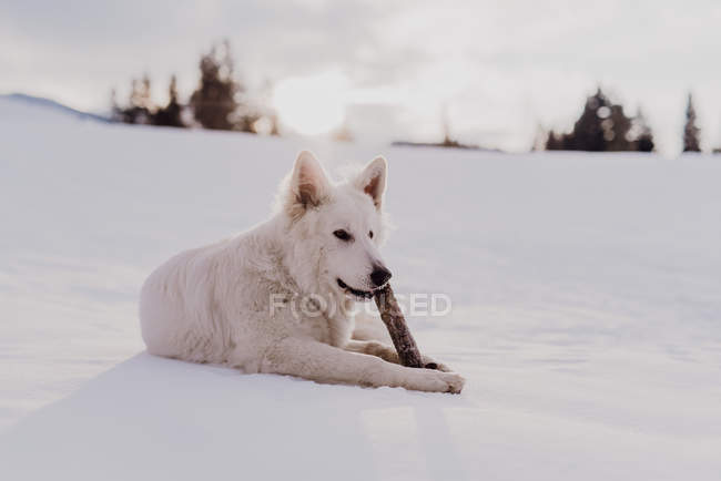 White shepherd dog lying in snow and playing with wooden stick — Stock Photo