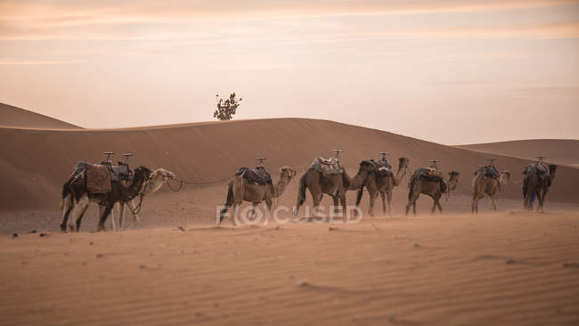 Camels caravan in Sahara desert, Erg Chigaga, Morocco — Stock Photo