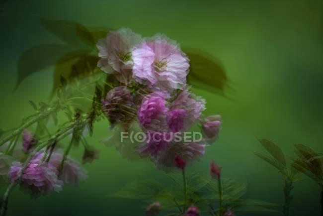 Крупним планом вид Цвітіння персика дерева квіти навесні — стокове фото