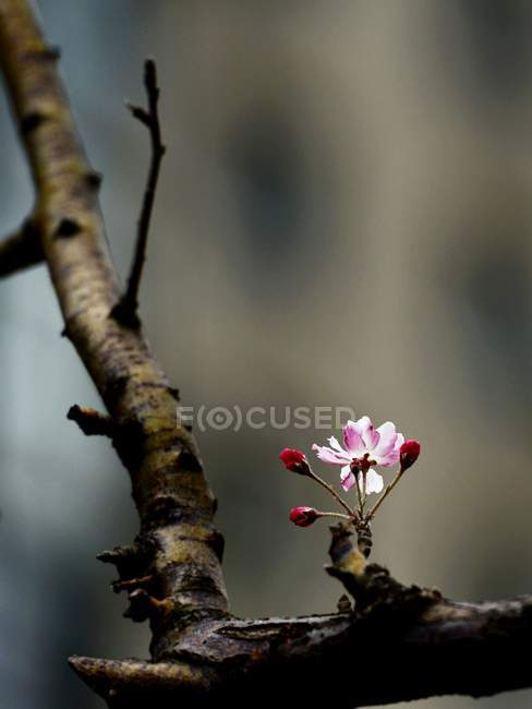 Close up view of peach tree blossom flowers in spring — Stock Photo