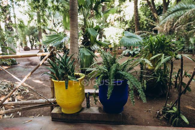Крупный план синих и желтых горшков с красивыми зелеными растениями в саду, Марокко, Африка — стоковое фото