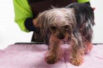 Обрезанный снимок человека, ухаживающего за симпатичной йоркширской терьерной собакой — стоковое фото