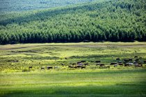 Cows grazing on green pasture near rural road and scenic hills — Stock Photo