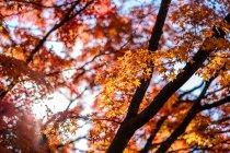 Vue à angle bas des rameaux d'arbres avec de belles feuilles d'automne orange à Tokyo, Japon — Photo de stock