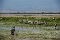 Rebanho de zebras selvagens bonitas na reserva nacional de Mara do Masai, África — Fotografia de Stock