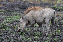 Бородавочник полювання в дикій природі в Савана, Африка — стокове фото