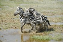 Herd of beautiful wild zebras in Masai Mara National Reserve, Africa — Foto stock