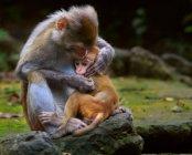 Крупним планом двох милих дорослих і дитини мавп в дикій природі — стокове фото