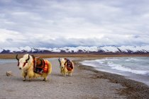 Majestic yaks near wavy lake and snow-capped mountains in Tibet — Stock Photo