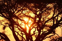Amazing sunset scenery with trees in Kenya, Africa — Stock Photo