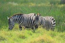 Troupeau de beaux zèbres sauvages dans la réserve nationale du Masai Mara, Afrique — Photo de stock