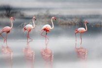 Beautiful pink flamingos in wildlife, Masai Mara National Reserve, Africa — Stock Photo