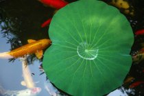 Tranquil scene with green leaf and goldfish in calm pond — Photo de stock