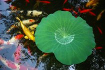 Tranquil scene with green water plant leaf and goldfish in pond — Photo de stock
