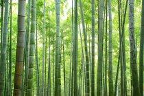 Amazing Bamboo forest in Anji, Zhejiang Province, China — Stock Photo