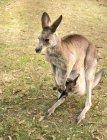Высокий угол зрения на красивый австралийский зоопарк Брисбен кенгуру с ребенком — стоковое фото
