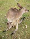 High angle view of beautiful Australia Brisbane zoo kangaroo with baby — Stock Photo