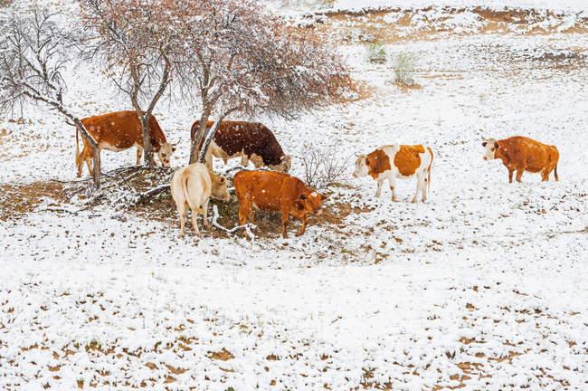 Vacas pastando en colinas cubierto de nieve en Mongolia interior - foto de stock