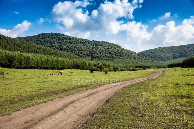 Vacas pastando en pastos verdes cerca de caminos rurales y colinas pintorescas - foto de stock