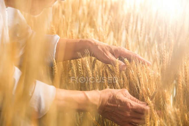 Visão parcial do agricultor sênior tocando orelhas maduras de trigo em campo — Fotografia de Stock