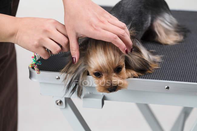 Cortado tiro de pessoa grooming bonito Yorkshire Terrier cão — Fotografia de Stock