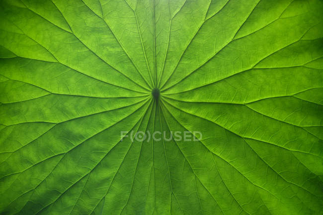 Close-up view of fresh green Lotus leaf texture — Stock Photo