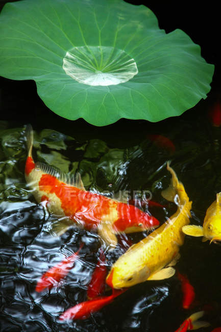 Close-up view of green leaf and goldfish in calm water of pond — Stock Photo