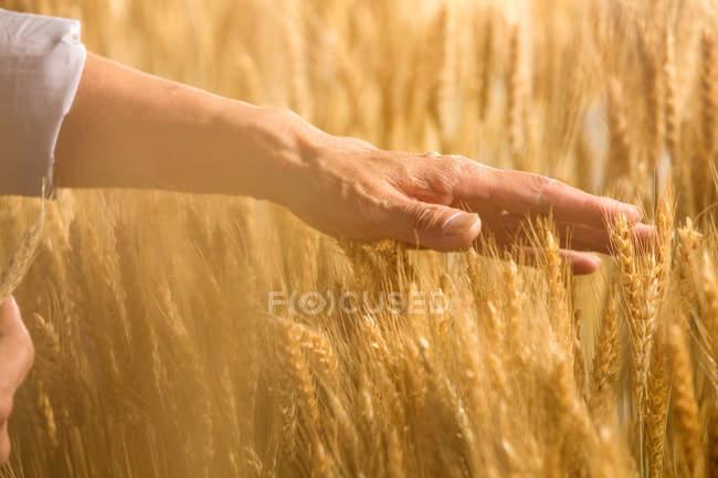 Tiro cortado de fazendeiro sênior tocando orelhas maduras de trigo no campo — Fotografia de Stock
