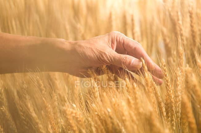 Tiro cortado de agricultor sênior tocando orelhas de trigo maduro no campo — Fotografia de Stock