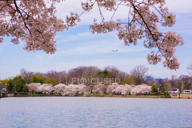Scenery of Washington with beautiful pink blossoming trees — Stock Photo