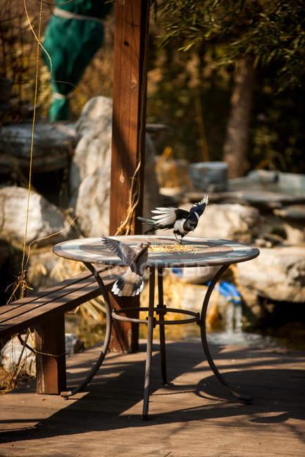 Uccelli da foraggio su tavola con semi all'aperto — Foto stock