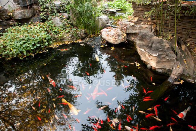 Красивая золотая рыбка плавание в спокойном пруду сад — стоковое фото