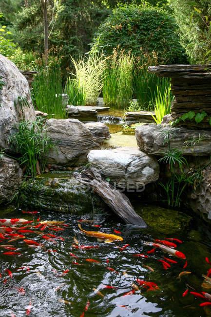 Удивительный пруд с золотыми рыбками, плавающими в воде на заднем дворе — стоковое фото