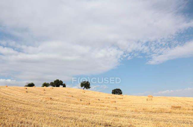 Beau blé mûr dans le champ pendant la journée, Xinjiang, comté de qitai — Photo de stock