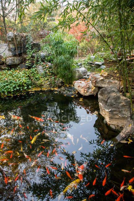 Beautiful goldfish swimming in calm decorative garden pond — Stock Photo