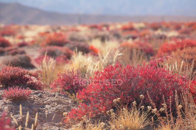 Крупний план перегляду рослин, що ростуть в пустелі Гобі, провінція Цінхай — стокове фото