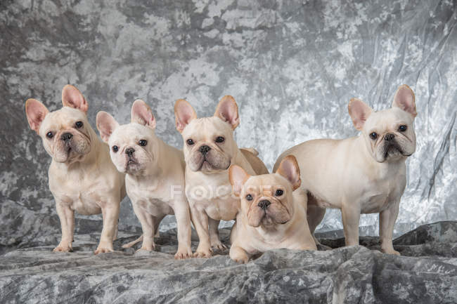 Group of adorable white puppies on grey background — Stock Photo