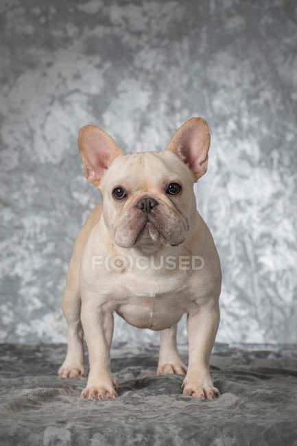 Vista de cerca del adorable bulldog francés blanco mirando a la cámara - foto de stock