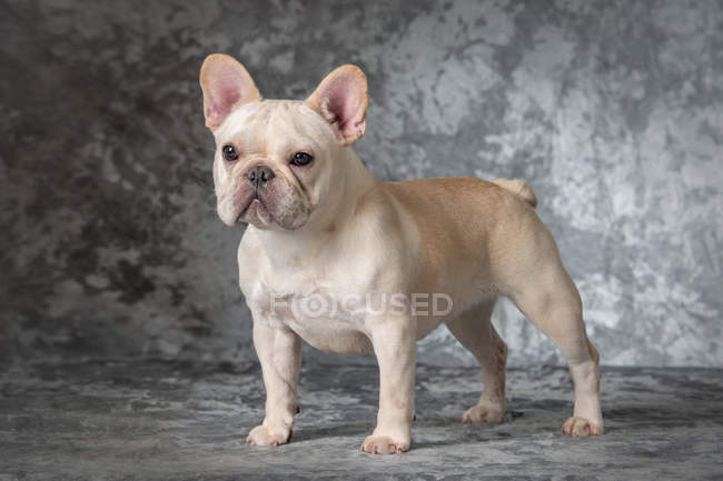Francês bulldog filhote de cachorro de pé no fundo cinza — Fotografia de Stock