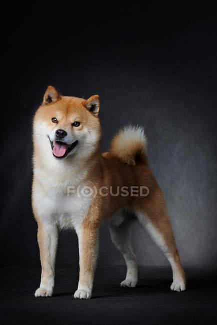 Visão comprimento total de cão fofo marrom adorável em pé com a língua para fora no fundo cinza escuro — Fotografia de Stock