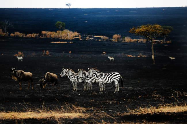 Стада красивих диких зебр в Масаї Мара Національний заповідник, Африка — стокове фото