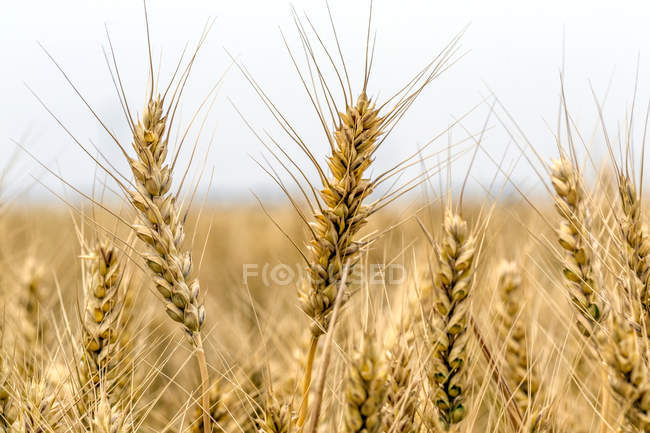 Nahaufnahme des Weizenanbaus im Feld, selektiver Fokus — Stockfoto