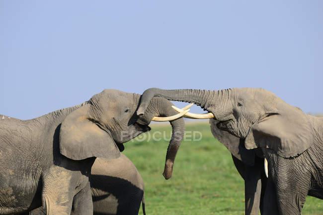 Maestosi elefanti grigi africani nella giornata di sole nella fauna selvatica — Foto stock
