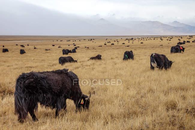 Harde de Yaks broutant dans un pré herbeux par une journée nuageuse — Photo de stock