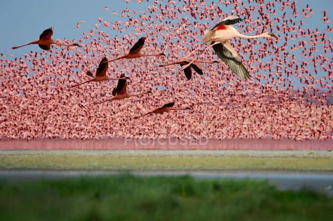 Hermosos flamencos rosados en la vida silvestre, Reserva Nacional Masai Mara, Africa - foto de stock