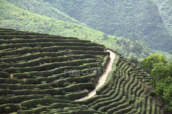 Tea garden of Xixiang county, Shaanxi Province, China — Stock Photo