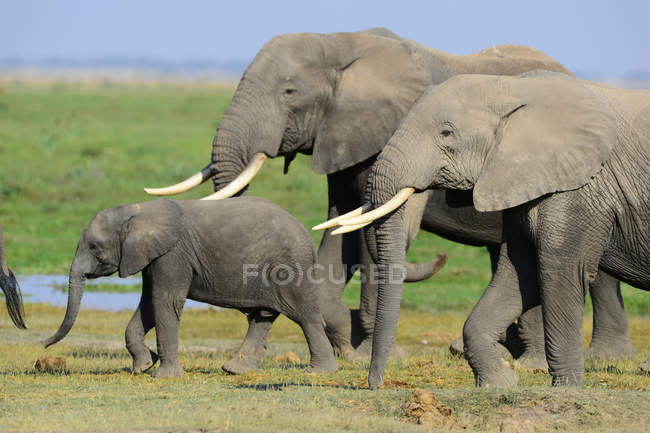 Majestueux éléphants africains gris à la journée ensoleillée dans la faune — Photo de stock